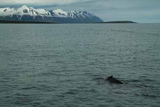 baleine-en-islande-découverte-en-famille