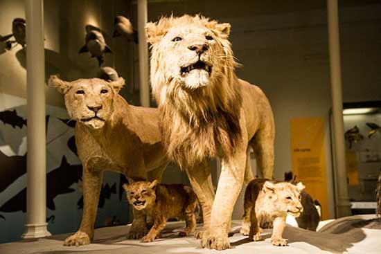 Museum-National-d'Ecosse-lion