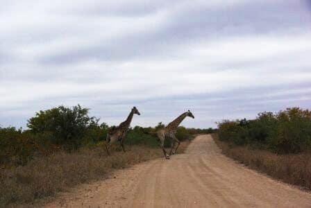 voyage-afrique-du-sud-girafes