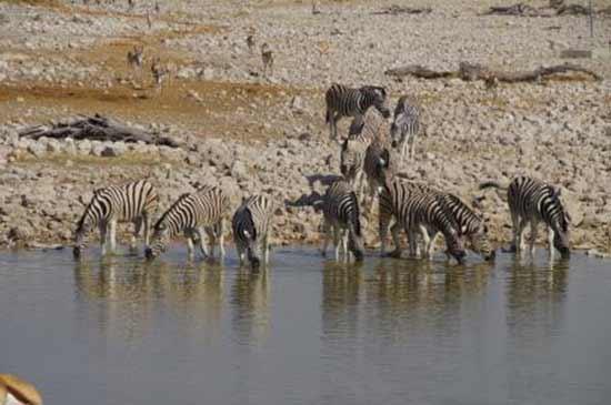 zèbres-Namibie