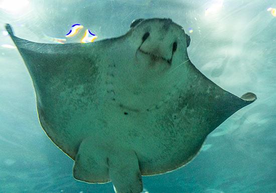 Aquarium-barcelone-raie