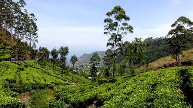 sri-lanka-plantations-de-the paysage