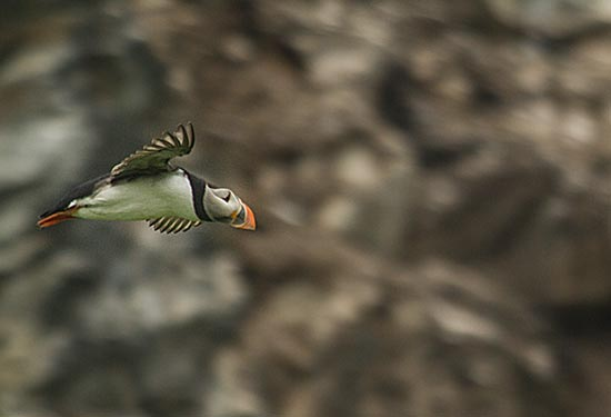 laponie-famille-oiseau