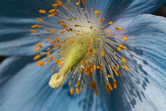 pavot-bleu-jardin-laponie