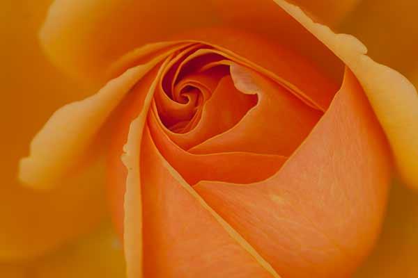 rose-Norvège