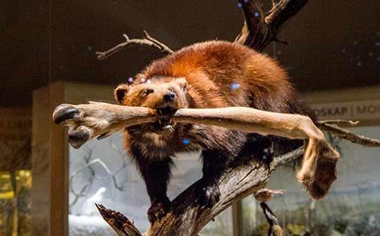 natural-history-museum-stockholm-faune-suède