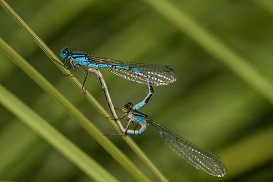 lac-chavillon-libellule